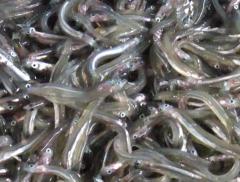 イカナゴ(玉筋魚)