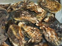 カキ(牡蠣)